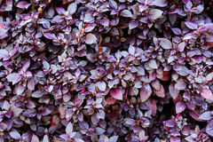 Purple leaves background Royalty Free Stock Photography