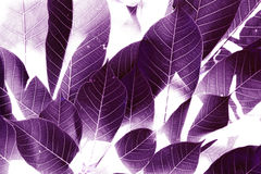 The Purple leaves background. Royalty Free Stock Image