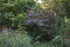 Purple leaves of Cercis canadensis tree stock photo
