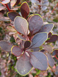 Purple leaves. Close photo of exotic bush with purple leaves Stock Photo
