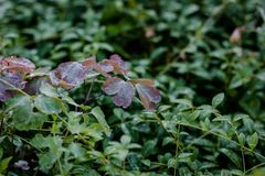 Purple leaves of clover on green grass background with dew drops at morning. Stock Photography