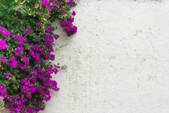 The  purple leaves ,pink flowers , ivy on white wall. Natural background Royalty Free Stock Image