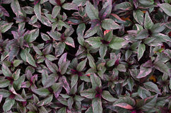 Purple leaves plant Stock Images