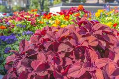 Purple leaves of plant in flower bed. In a planter near the Temple in Provo Utah royalty free stock photos