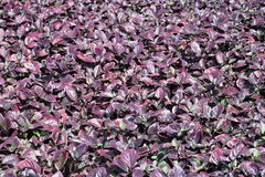 Purple leaves. Plant with purple leaves in Hawaii Stock Photography