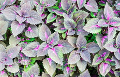 Purple leaves Royalty Free Stock Image