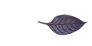 Purple leaves in the white background. Stock Photography