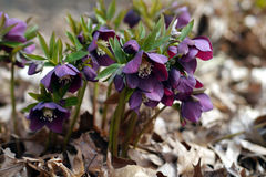 Purple Lenten rose in the woods. In spring Royalty Free Stock Photography