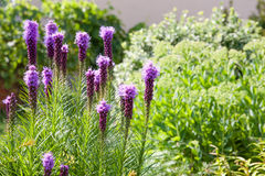 Purple Liatris Flowers Stock Photos