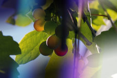 Purple light and grapes Stock Photos
