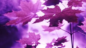 Purple lights in the forest. Unknown purple lights and smoke at night in the forest.Maple tree closeup stock footage