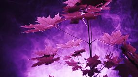 Purple lights in the forest. Unknown purple lights and smoke at night in the forest. Maple tree closeup stock video