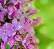 Purple Lilaс Flowers on the Blurred Green Background Stock Photos