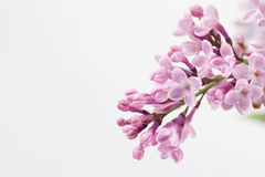 Purple lilac Stock Images