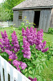 Purple Lilac. Photo of purple lilac flowering shrub with rural background Royalty Free Stock Images