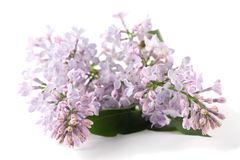 Purple lilac Stock Photo