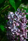 Purple lilac flowers as a background. Syringa vulgaris. Purple lilac as a background. Syringa vulgaris Stock Image