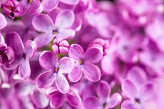 Purple Lilac Background. Purple lilac flowers background. Macro lilac photography stock images