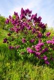 Purple lilac Royalty Free Stock Photo