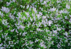 Purple lilac blossom Stock Photography