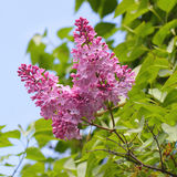 Purple lilac blossom blooming in spring Stock Image
