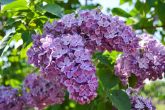 Purple Lilac Blossom. Lilac blooms and blossoms showing itself in the best light. The sun is shining behind Stock Images