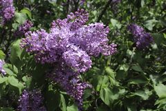 Purple lilac bush and flowers in the sprinng. Purple lilac blossom. Spring sunshine. Background of green leaves. Rochester, New York stock images