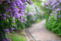 Purple lilac blossoms blooming in springtime. With beautiful bokeh Stock Photos