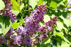 Purple lilac blossoms on a Sunny day. Beautiful lilac-a symbol of spring stock images