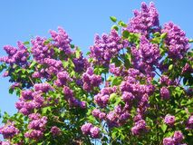 Purple lilac on blue sky Stock Images