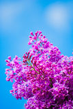 Purple lilac in blue sky. At bright daylight Stock Photos