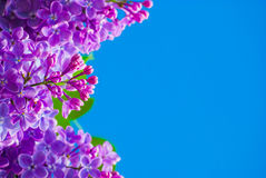 Purple lilac in blue sky. At bright daylight Royalty Free Stock Photo