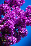 Purple lilac in blue sky stock photography