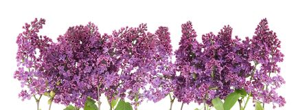 Purple  lilac border Royalty Free Stock Image