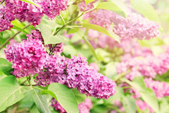 Purple lilac branch Royalty Free Stock Images