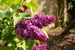 Purple lilac branch in a garden. Purple lilac blooms. A branch of blossoming lilac, in a garden, on a spring day, closeup Royalty Free Stock Photography