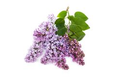 Purple lilac branch, isolated on white background Stock Images