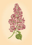 Purple lilac branch on a light beige background. Royalty Free Stock Photo