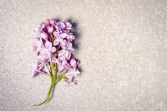 Purple lilac branch on a silver cement background Stock Images