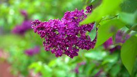 Purple lilac branch swinging in wind stock video