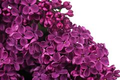 Purple lilac Stock Image