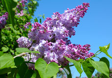 Purple lilac bush Stock Photo