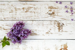 Purple lilac bush. Background with space for text. Stock Photos
