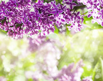 Purple lilac bush blooming Royalty Free Stock Photography