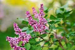 Purple lilac Stock Photography