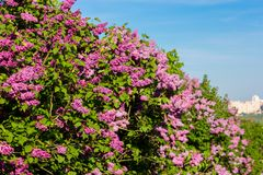 Purple lilac bush blooming in May day. City park Stock Image