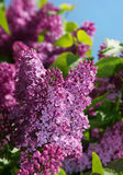 Purple lilac bush flower Royalty Free Stock Photos