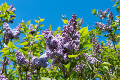 Purple lilac bush Royalty Free Stock Photography
