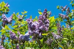 Purple lilac bush Royalty Free Stock Photography