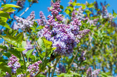 Purple lilac bush Stock Image